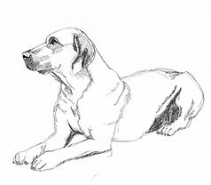 dog-sketches-rhodesian-ridgeback.jpg