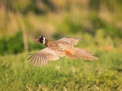 ring-necked-pheasant-in-flight-loree-joh