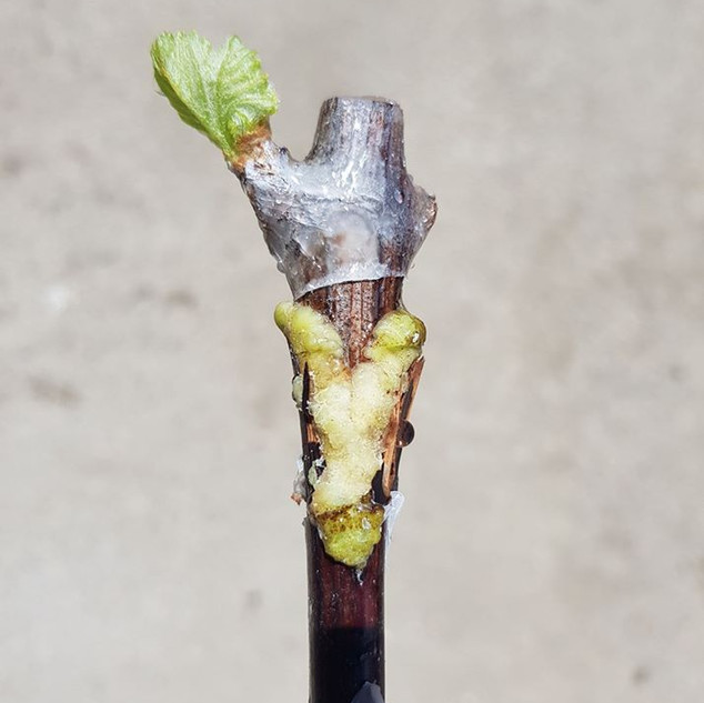 A freshly callused vine