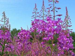 Копорский чай – лечение с полей