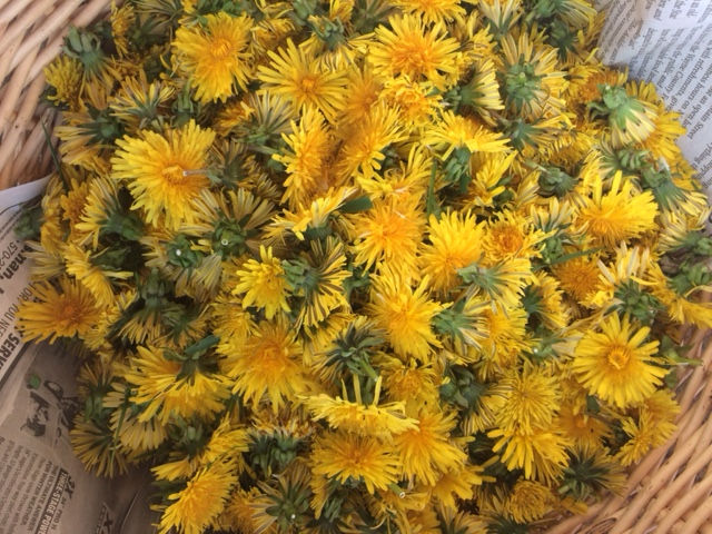 From Weed to Super Flower: Dandelion