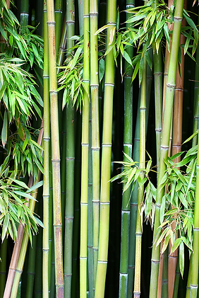 SMgreen-bamboo-can-be-used-natural-backg