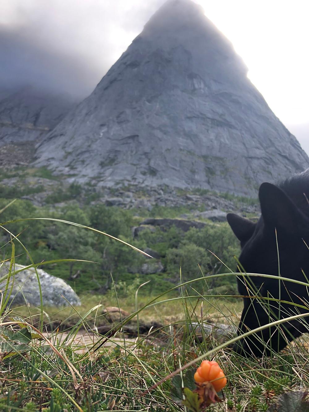 Black Norwegian Elk Hound   Kjerringøy   Multe   Nordland