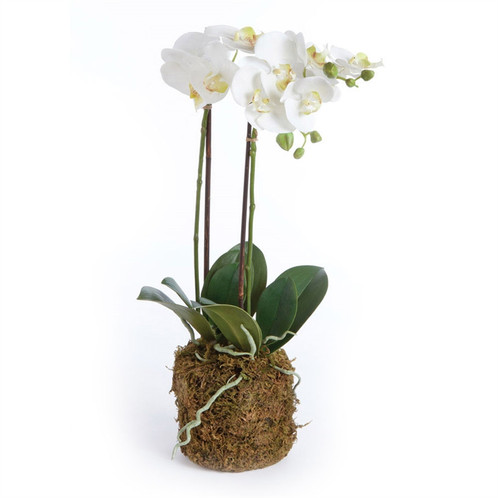 White Phalaenopsis Orchid Drop In