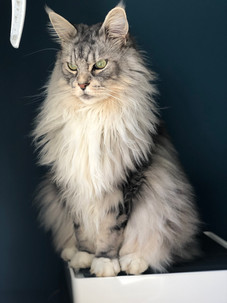 Woody-chat-maine-coon-blog-à-poils.jpg