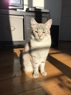 Nala-chat-européen-blog-à-poils-2.jpg