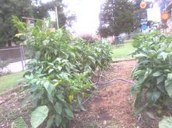 Our pepper Farm