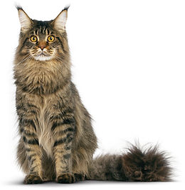 Tabby-Maine-Coon-Cat-Photo.jpg
