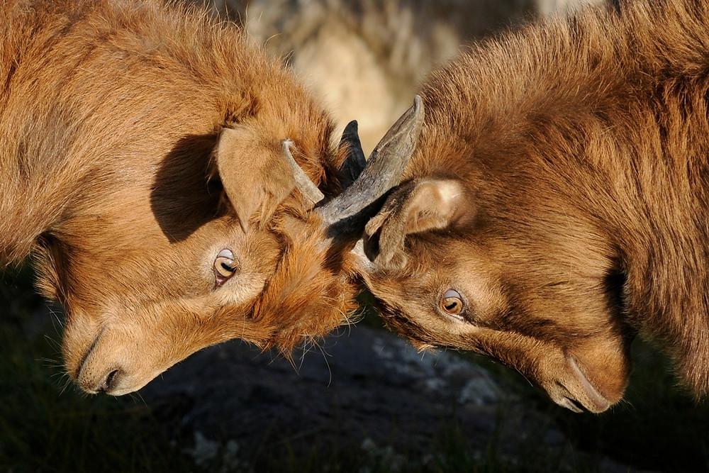 Eläimet kolistelevat sarviaan