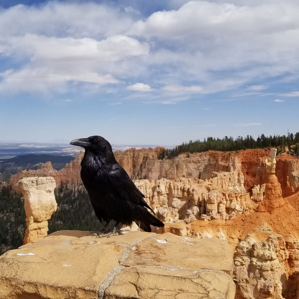 Raven at Bryce Canyon