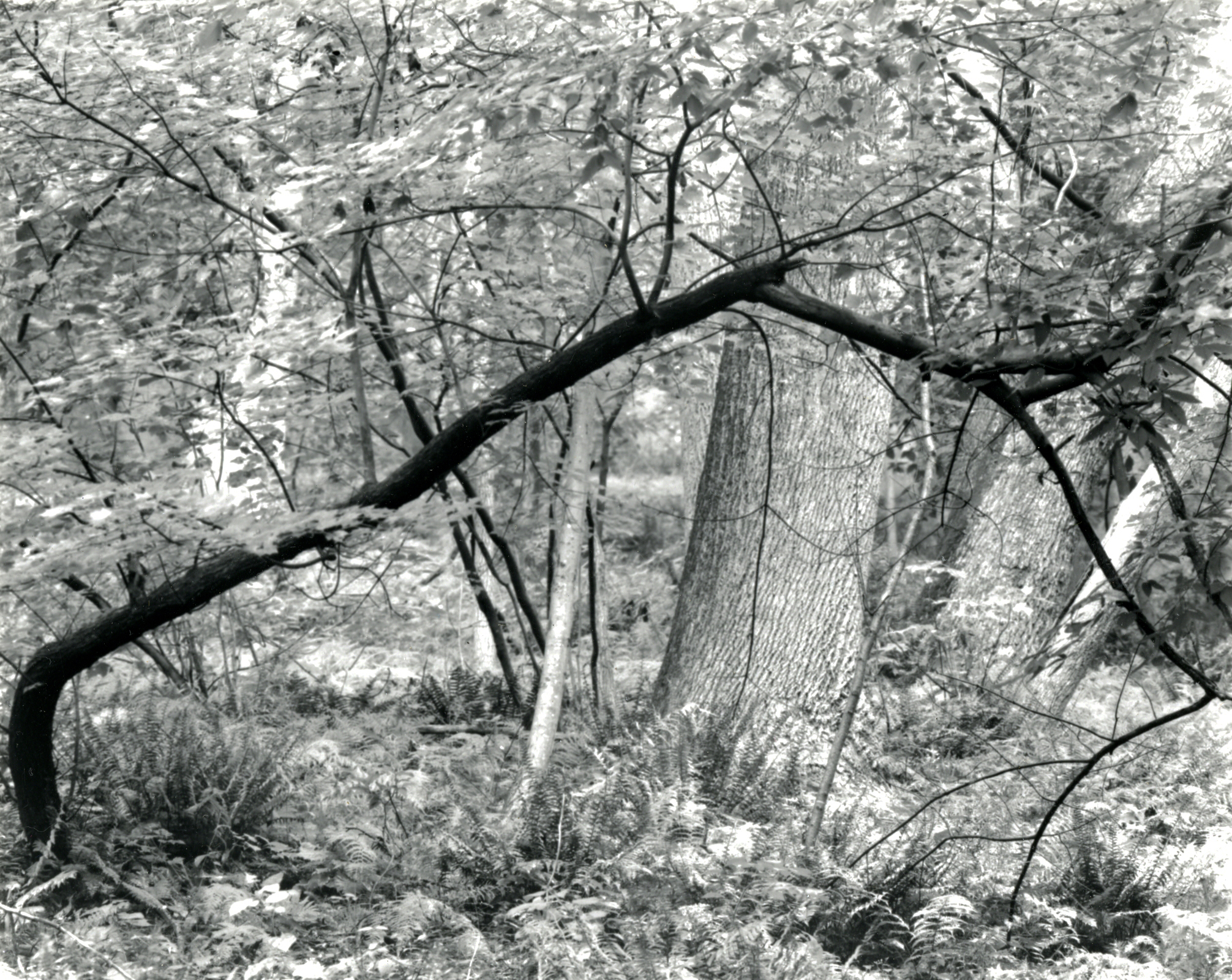 Tree, Valley Forge, Pennsylvania