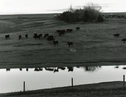 Cattle, US 83, Kansas