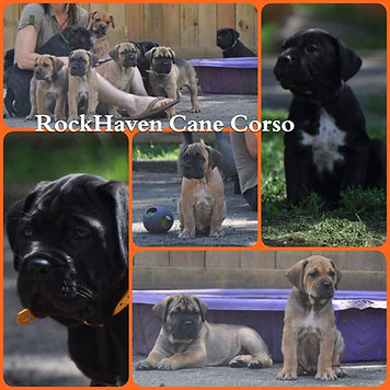 rhcc collage-2018 silvia pups.jpg