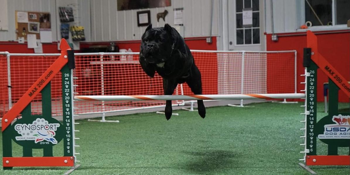 cane corso manny agility jump