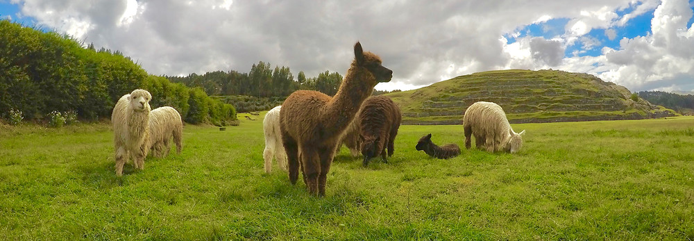 Llamas and alpacas in Cusco