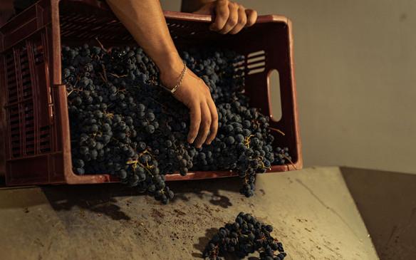 Loading grapes.jpg