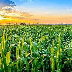 Corn Field 72dpi.jpg