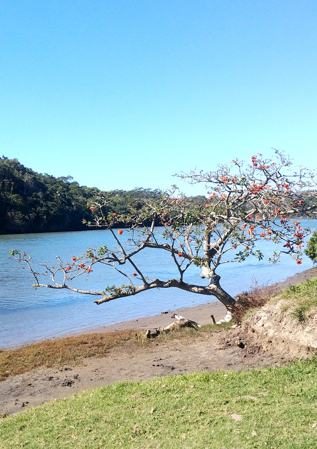 Flame Tree on the Nahoon River