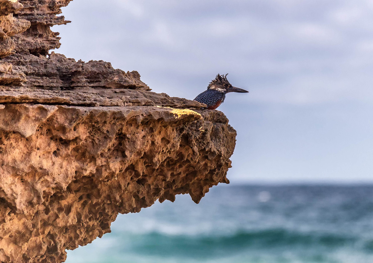 Giant Kingfisher Nahoon Point