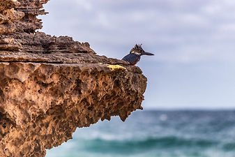 Giant Kingfisher Nahoon Point Louis Rood