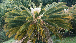 Discover Our World: Cycads