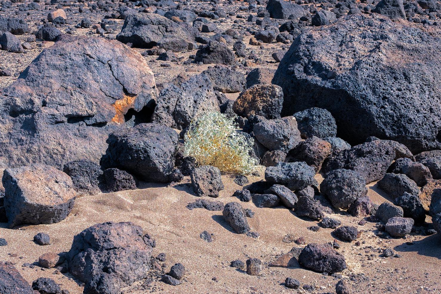 Death Valley Lizards