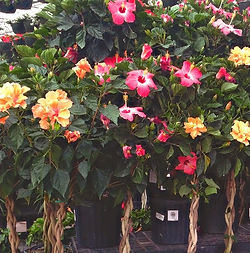 Tropical_Hibiscus-Braided-Multicolor_edi