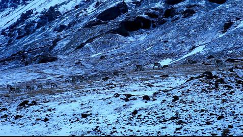 Quelques rennes après Fáskrúðsfjörður.jpg