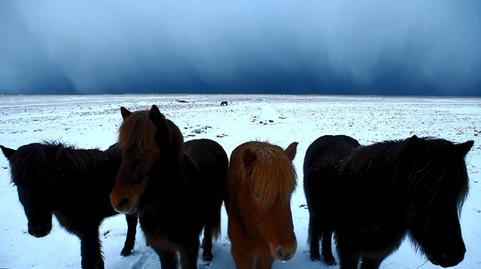 Chevaux islandais.jpg