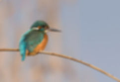 Vogelfotografie, Hongarije, IJsvogel, Common Kingfisher.
