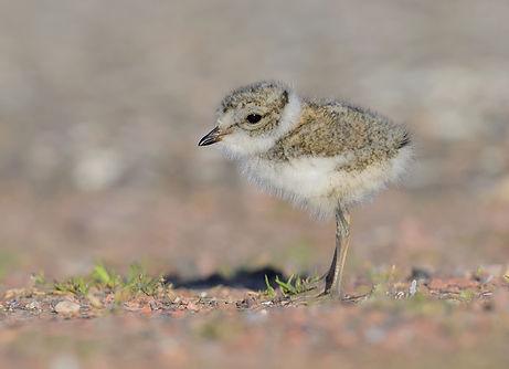 Vogelfotografie Texel.  Een net geboren Bontbekplevier moet zelfstandig voedsel zoeken.