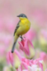 Vogelfotografie Gele Kwikstaart