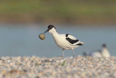Het jong is geboren en dircect wordt de eierschaal weggebracht voor roofvogels.