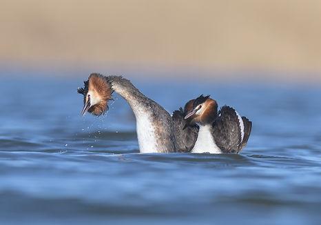 De partner komt onder de Fuut vandaan boven water!