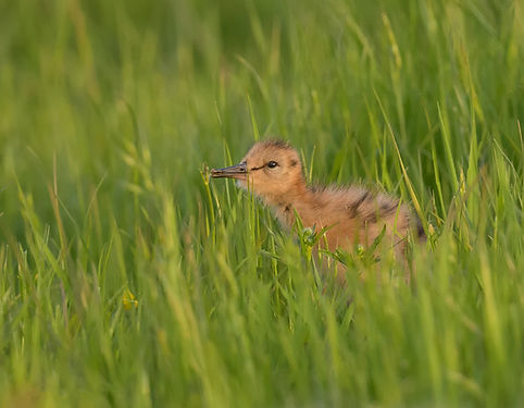 Vogelfotografie Texel. Grutto jong zoekt vangt vliegjes.