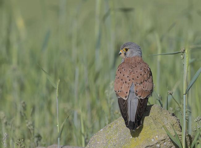 Vogelfotografie Toledo, Spanje, Torenvalk.