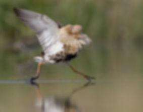 Vogelfotografie, Kemphaan