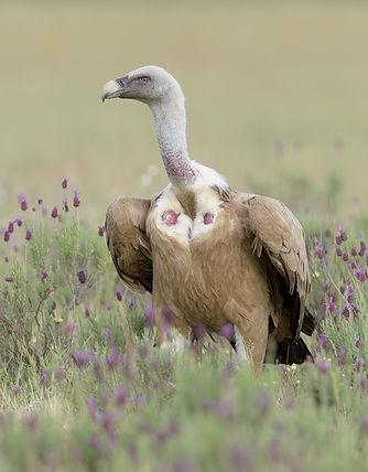Vogelfotografie Toledo, Spanje,  Vale Gier.