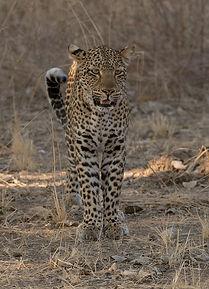 Luipaard staat recht op en wacht af.