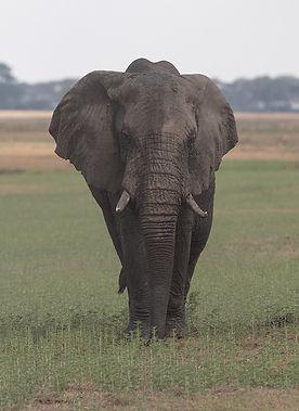 Africa, Zambia, Olifant.