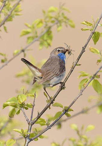Vogelfotografie Texel.  Blauwborst met prooi.