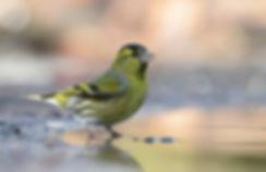 Vogelfotografie, Sijs.
