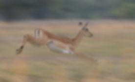 Panning fotografie, Impala.