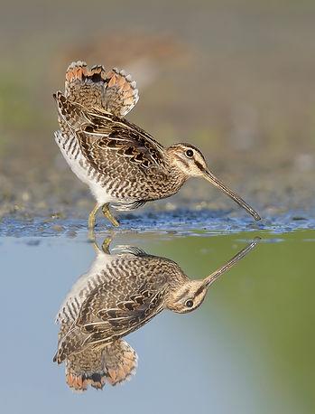 Watersnip zet zijn staartveren op terwijl de vogel schrikt.