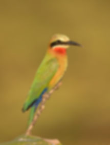 White-Fronted Bee-eater (Witkapbijeneter)