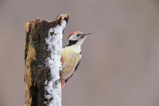 De kans om een Middelste Bonte Specht te fotograferen is het beste in de winterperiode.