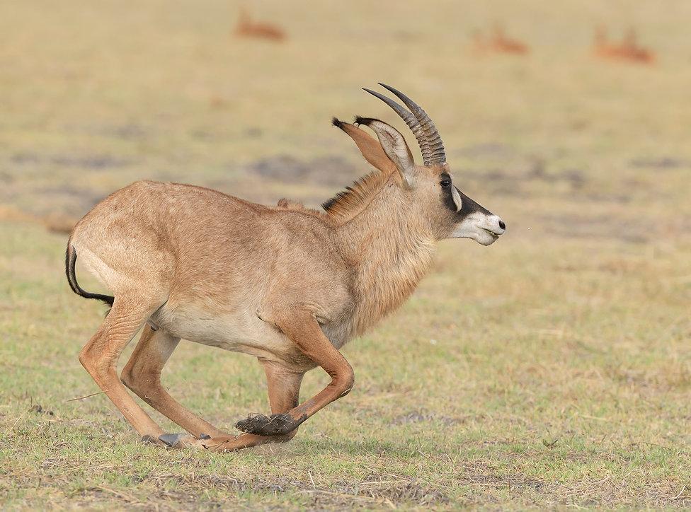 Zambia, Kafue NP, Roan antilope.
