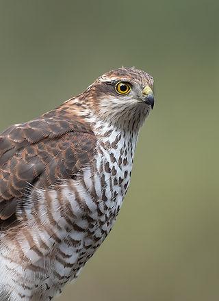 Vogelfotografie, Sperwer