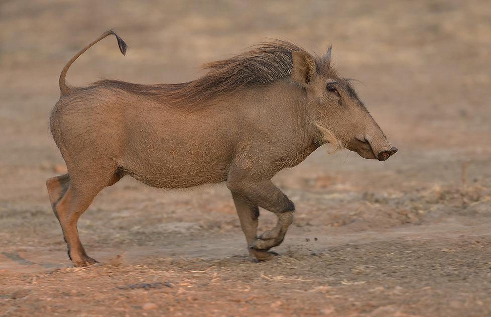 Common-Warthog (Knobbelzwijn)
