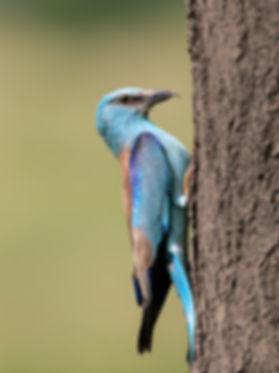 Vogelfotografie Hongarije, Scharrelaar.